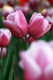 Tulipanes del amor fotos de archivo libres de regalías