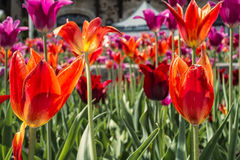 Tulipanes del belvedere de Kondiaronk Fotos de archivo