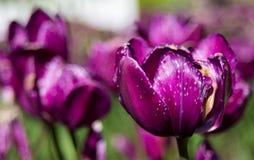 Tulipanes del dedo del pie de la extremidad Foto de archivo
