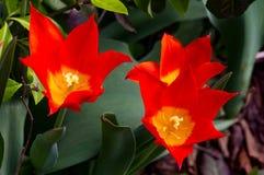 Tulipanes del fuego finales Fotografía de archivo libre de regalías
