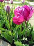 Tulipanes del jardín Imagen de archivo libre de regalías