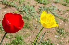 Tulipanes del jardín Imágenes de archivo libres de regalías