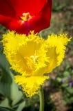Tulipanes del jardín Imagen de archivo