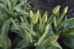 Tulipanes del macizo de flores de sin resolver Fotos de archivo libres de regalías