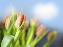 Tulipanes del manojo Fotografía de archivo libre de regalías