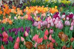 Tulipanes del multicolor Imágenes de archivo libres de regalías