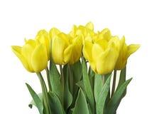 Tulipanes del resorte Imágenes de archivo libres de regalías