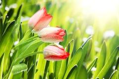 Tulipanes del resorte Fotos de archivo