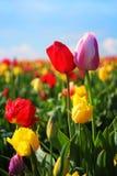 Tulipanes del resorte Foto de archivo libre de regalías