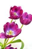 Tulipanes del resorte Imagen de archivo