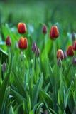 Tulipanes del resorte Fotografía de archivo libre de regalías