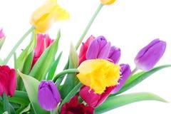 Tulipanes del resorte aislados en un blanco Foto de archivo