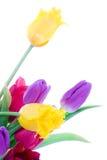 Tulipanes del resorte aislados en un blanco Fotos de archivo