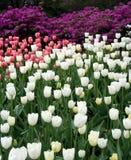 Tulipanes del resorte en Central Park Fotografía de archivo