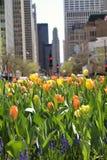 Tulipanes del resorte en la ciudad Fotos de archivo
