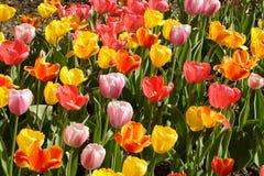 Tulipanes del resorte en la floración Imagenes de archivo