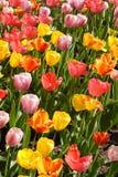 Tulipanes del resorte en la floración Imagen de archivo libre de regalías