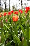 Tulipanes del resorte impregnados por el sol Imágenes de archivo libres de regalías
