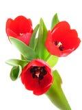 Tulipanes del resorte rojo imagen de archivo