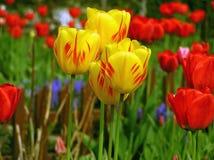 Tulipanes del rojo de Yellowly Fotografía de archivo libre de regalías