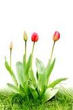 Tulipanes del rojo del grupo Imágenes de archivo libres de regalías