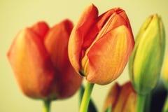 Tulipanes del rojo del vintage Foto de archivo libre de regalías