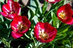 Tulipanes del rojo del jardín de flores Foto de archivo