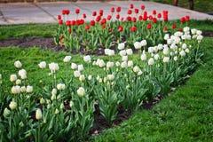 Tulipanes del rojo y del whiote en cama Fotos de archivo