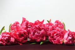Tulipanes del rosa de la primavera en el fondo blanco Frontera floral panorámica ancha imágenes de archivo libres de regalías