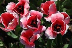 Tulipanes del rosa y blancos con los centros negruzcos imagen de archivo libre de regalías