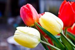 Tulipanes después de la lluvia imagen de archivo
