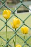 Tulipanes detrás de una cerca Fotografía de archivo libre de regalías