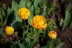 tulipanes dobles de la floración Imagen de archivo