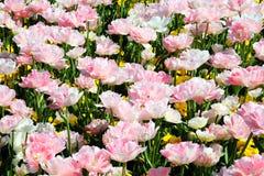 Tulipanes dobles rosados Imagen de archivo libre de regalías