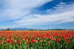 Tulipanes durante el valle Tulip Festival de Skagit, fotografía de archivo