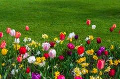 Tulipanes e hierba verde Foto de archivo libre de regalías