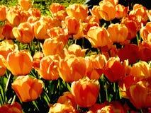 Tulipanes el Sun Fotografía de archivo