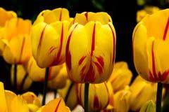 Tulipanes en amarillo con las rayas rojas Imágenes de archivo libres de regalías