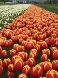 Tulipanes en campo Imagen de archivo