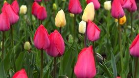 Tulipanes en día lluvioso