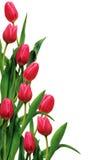 Tulipanes en el blanco Fotografía de archivo libre de regalías