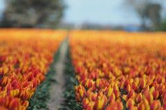 Tulipanes en el campo fotografía de archivo