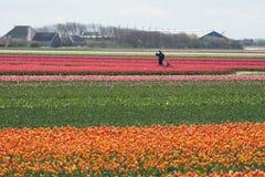 Tulipanes en el campo fotos de archivo