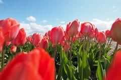 Tulipanes en el campo imagen de archivo