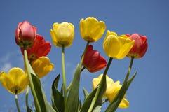 Tulipanes en el cielo azul Fotografía de archivo libre de regalías