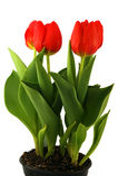 Tulipanes en el fondo blanco Fotos de archivo