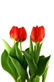 Tulipanes en el fondo blanco - 2 Fotografía de archivo libre de regalías