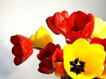 Tulipanes en el fondo blanco Fotografía de archivo