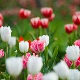 Tulipanes en el jardín Fotografía de archivo libre de regalías