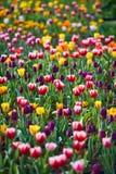 Tulipanes en el jardín Fotos de archivo libres de regalías